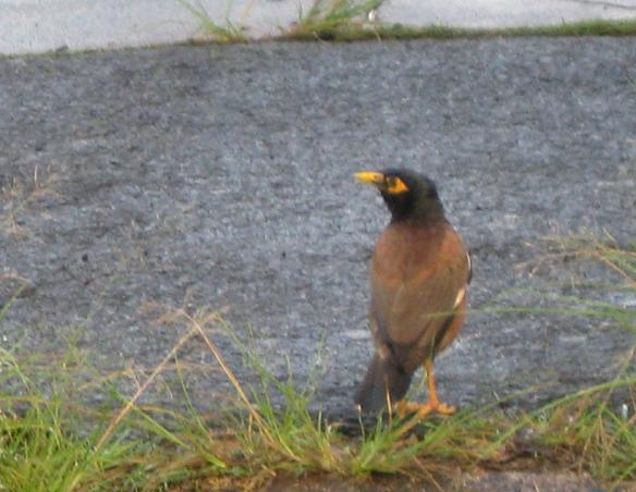 Mynah bird.